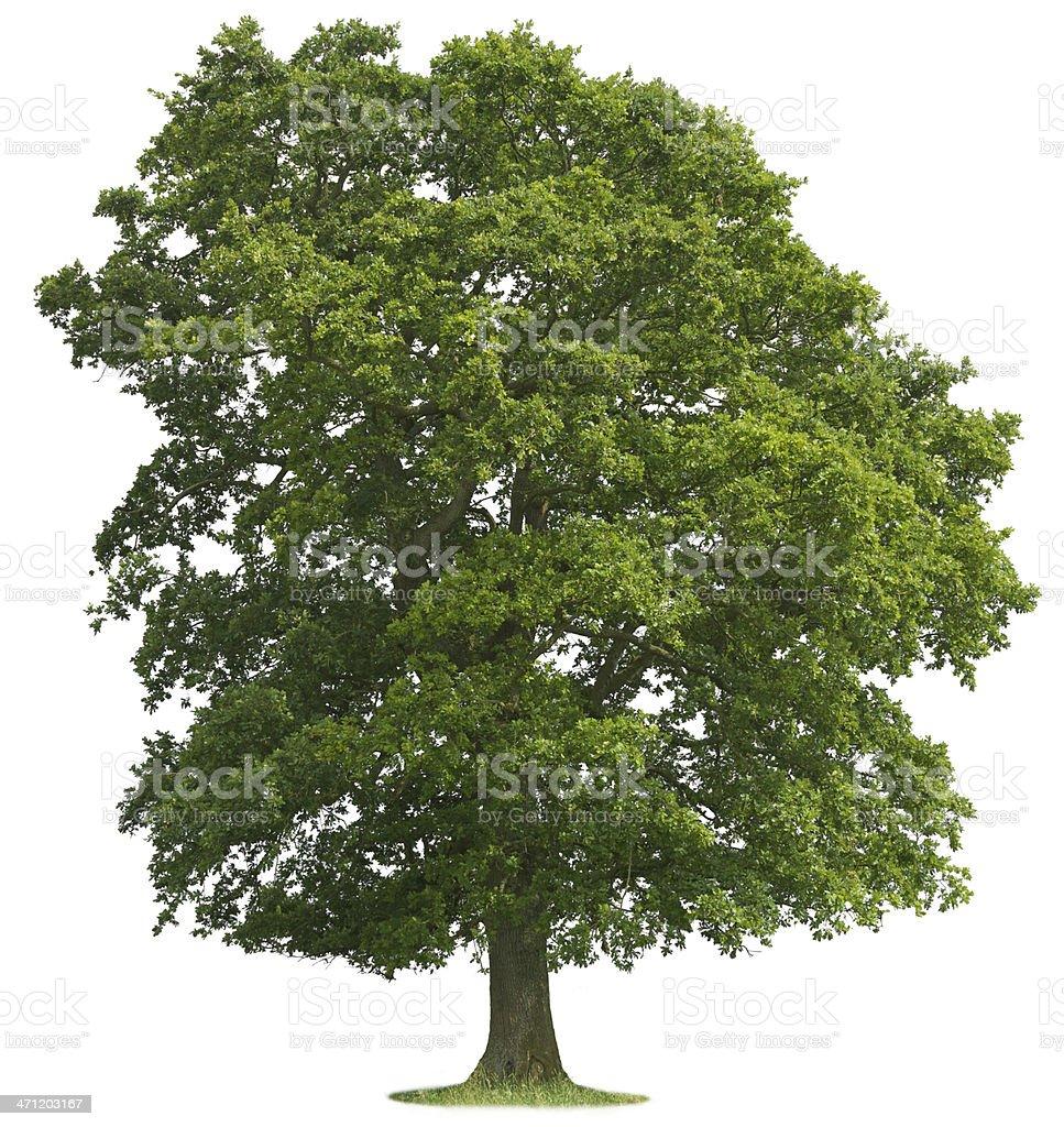 Isolated Oak Tree royalty-free stock photo