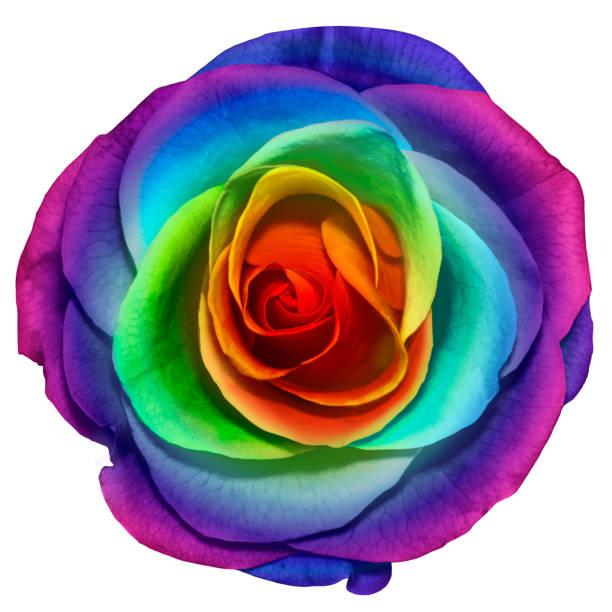 Isolated object of a beautiful rainbow color rose flower on white picture id984340190?b=1&k=6&m=984340190&s=612x612&w=0&h=82twpgtlnmtzxdfjkxp2cykbs4nvu0souujwlo56py4=