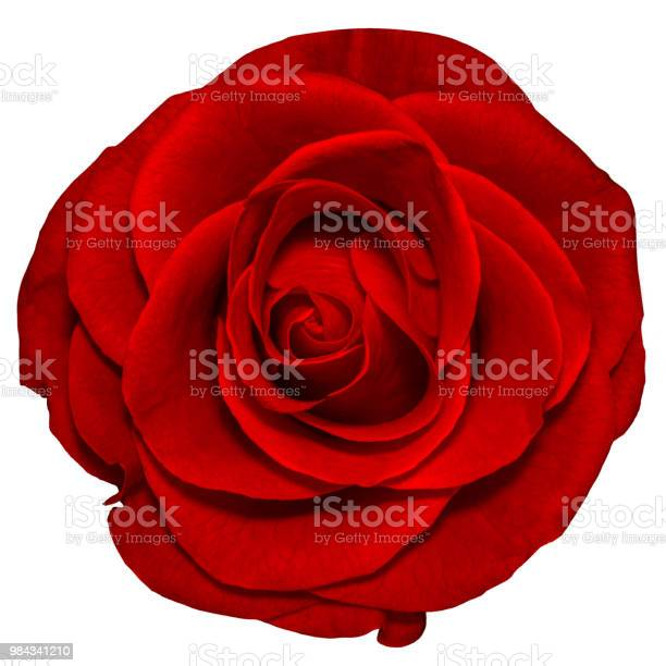 Isolated object of a beautiful red rose on a white backgroundn picture id984341210?b=1&k=6&m=984341210&s=612x612&h=cdxxuyzbxgpyxe703vtdx1tph9iggsaqigcc eg7zig=