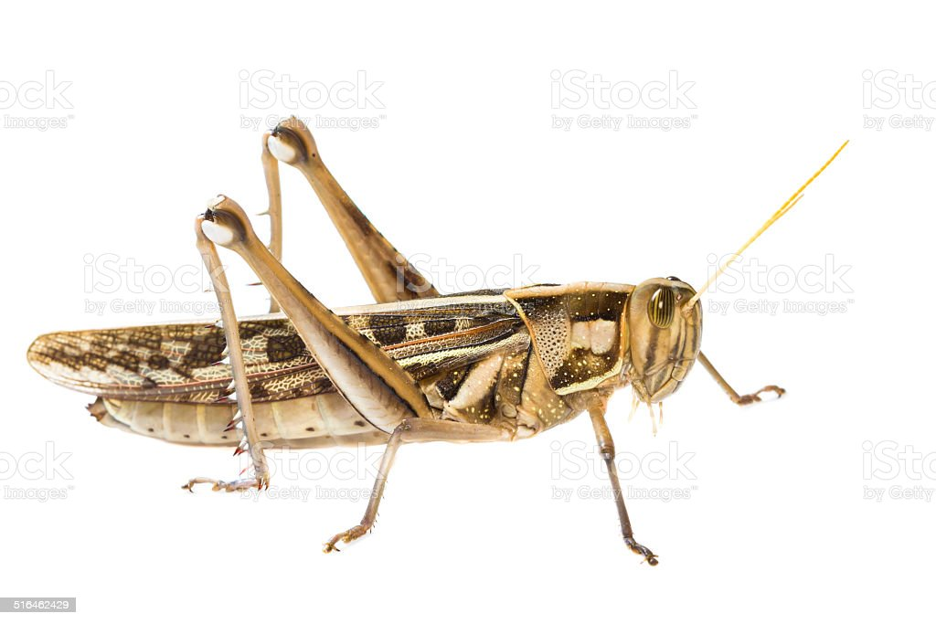 Isolated of big Grasshopper stock photo