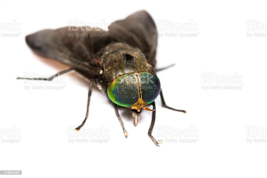 Isolated of Horse Fly stock photo