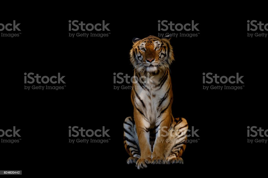 Isolated of tiger. stock photo