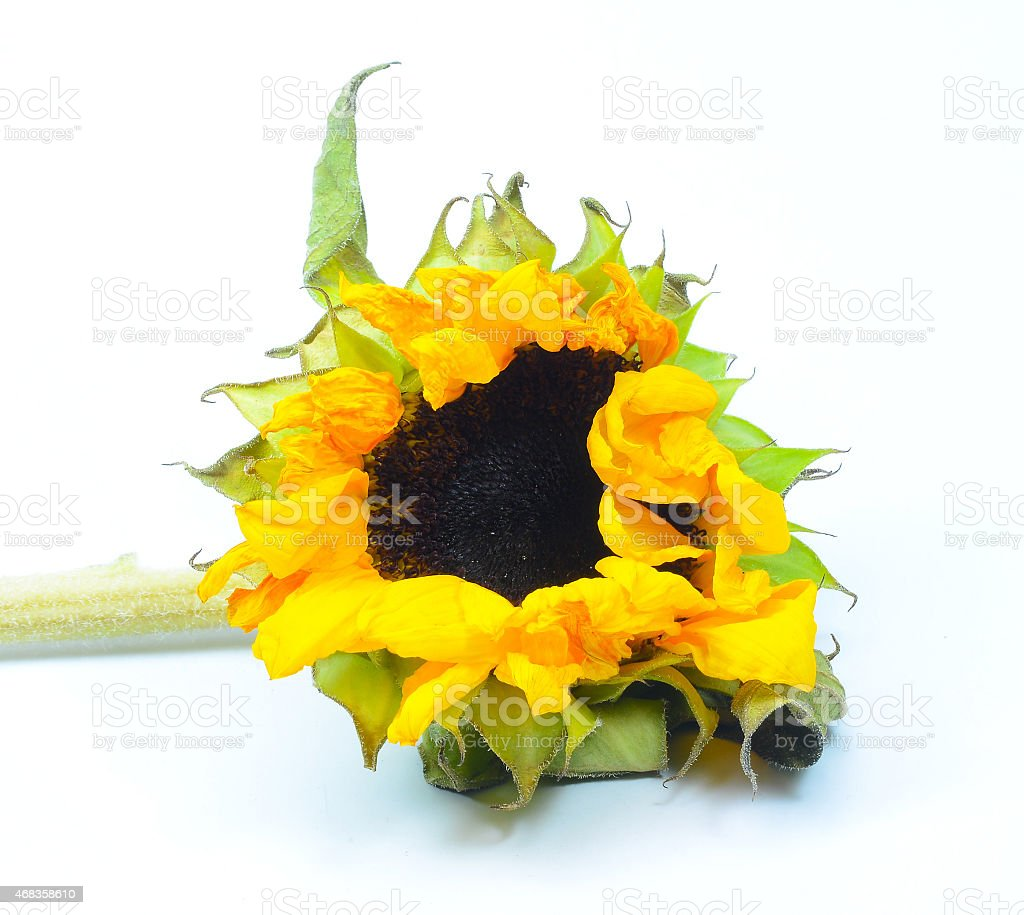 Isolated old and dead sunflower royalty-free stock photo