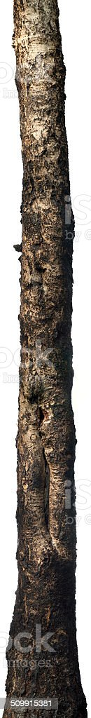 Isolated old birch trunk stock photo