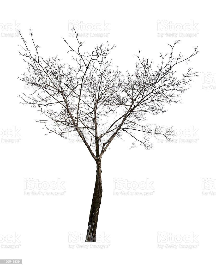isolated on white background bare maple royalty-free stock photo