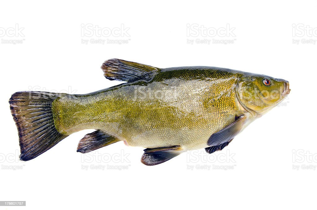 isolated on white big tench stock photo