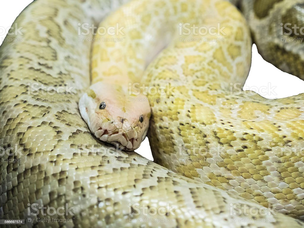 Isolated On White Gold Reticulated Python Lying On The Floor Stock Photo  586697574 | IStock