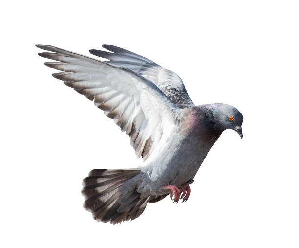 isolated on white gray pigeon in flight photo of flying dove isolated on white background pigeon stock pictures, royalty-free photos & images