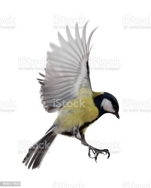 Isolated on white great tit in flight picture id939521606?b=1&k=6&m=939521606&s=612x612&h=xsst8dgqqxfyugqnu1emgggn0eiwcwvkwoynbwsth3a=
