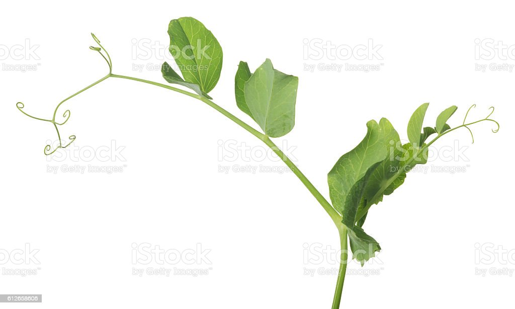 isolated on white green pea stem stock photo