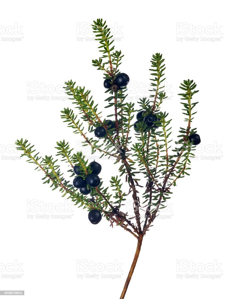 isolated on white juniper branch with berries stock photo