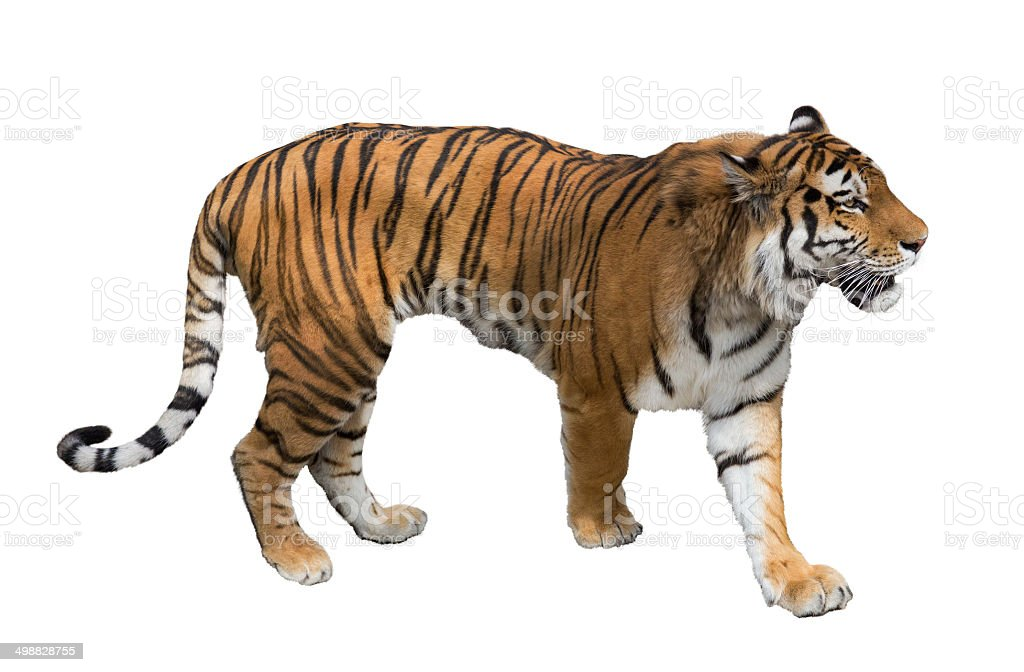 isolated on white large tiger stock photo
