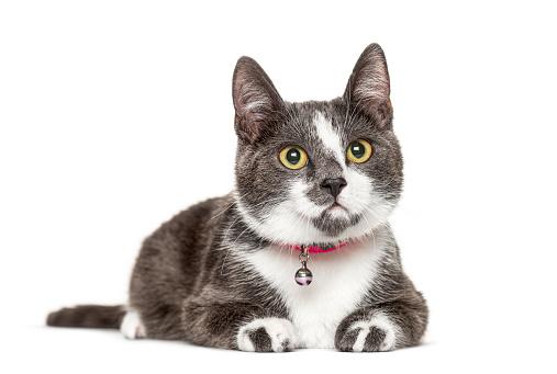 Crossbredeed cat wearing a bell,