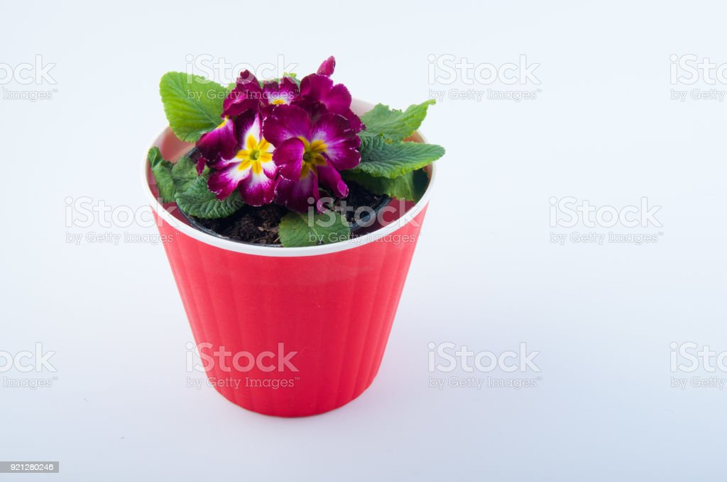 Isolated on white primrose flower in red pot stock photo