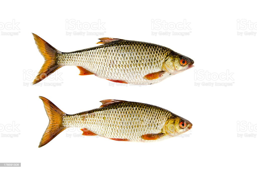isolated on white two roach fishes stock photo