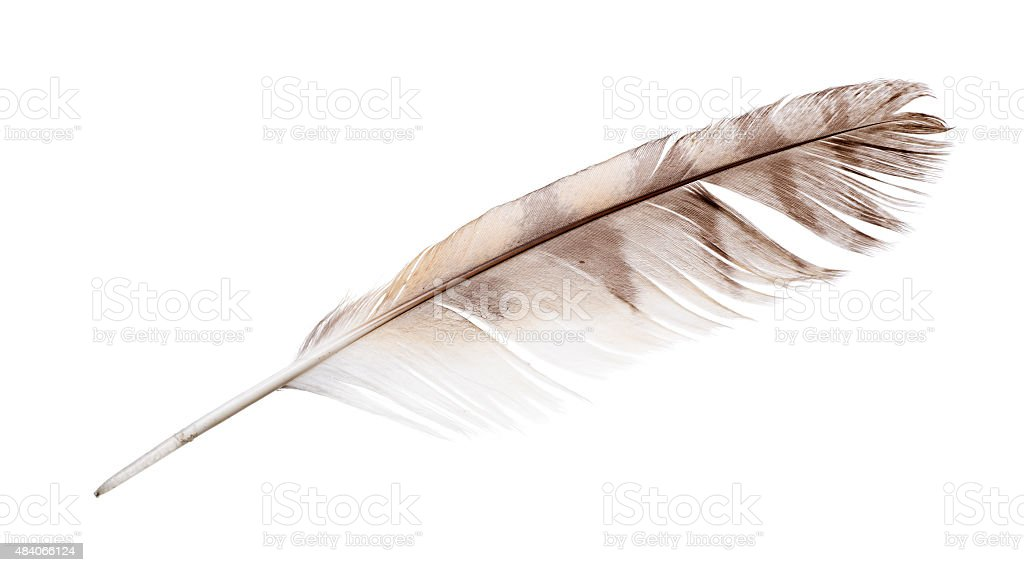 isolated on white variegated falcon feather stock photo