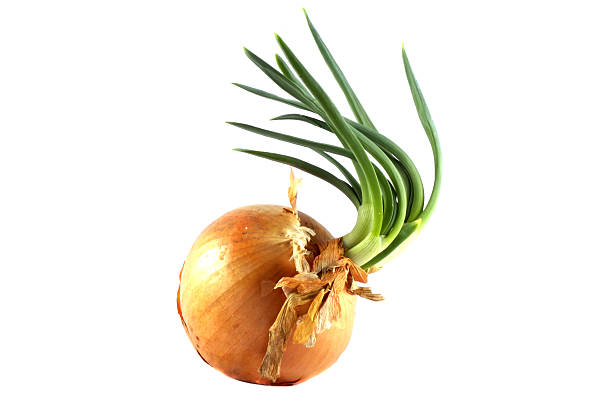 Isolated onion stock photo