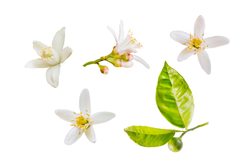 Isolated orange blossoms. Small branch of orange tree with flowers and   leaves isolated on white background