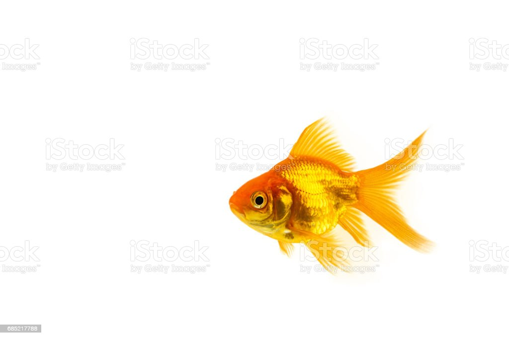 Isolated Orange Goldfish foto de stock royalty-free