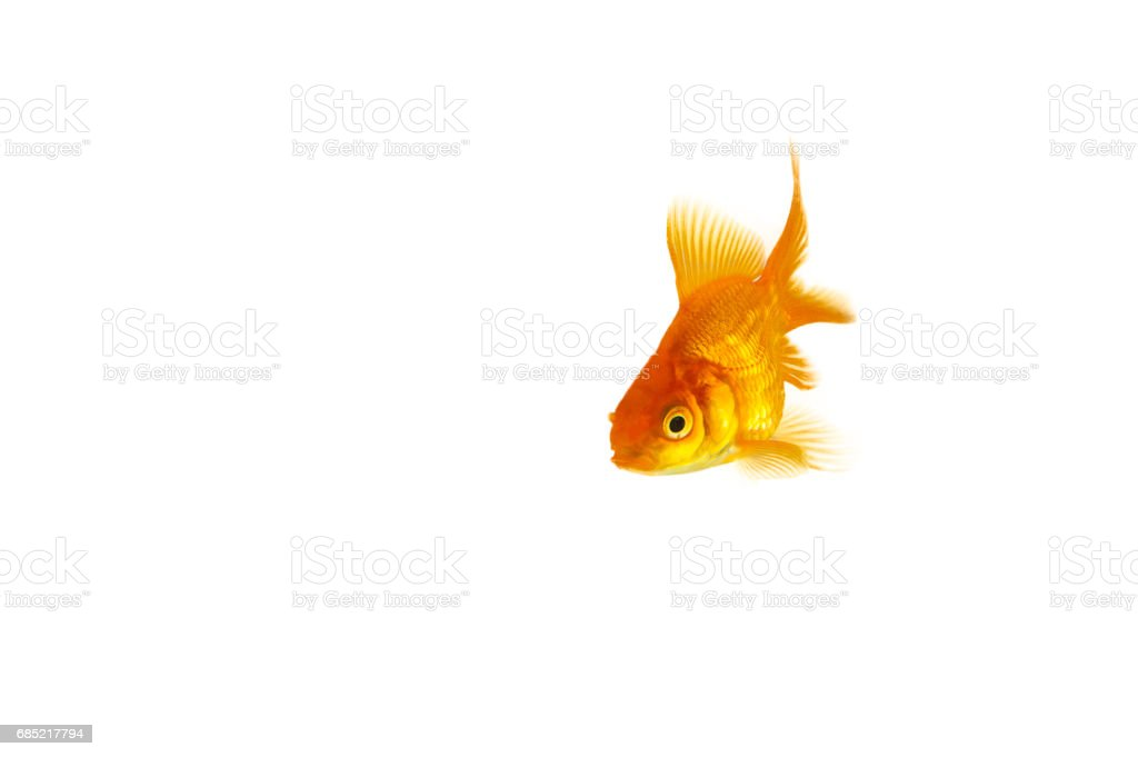 Isolated Orange Goldfish stock photo