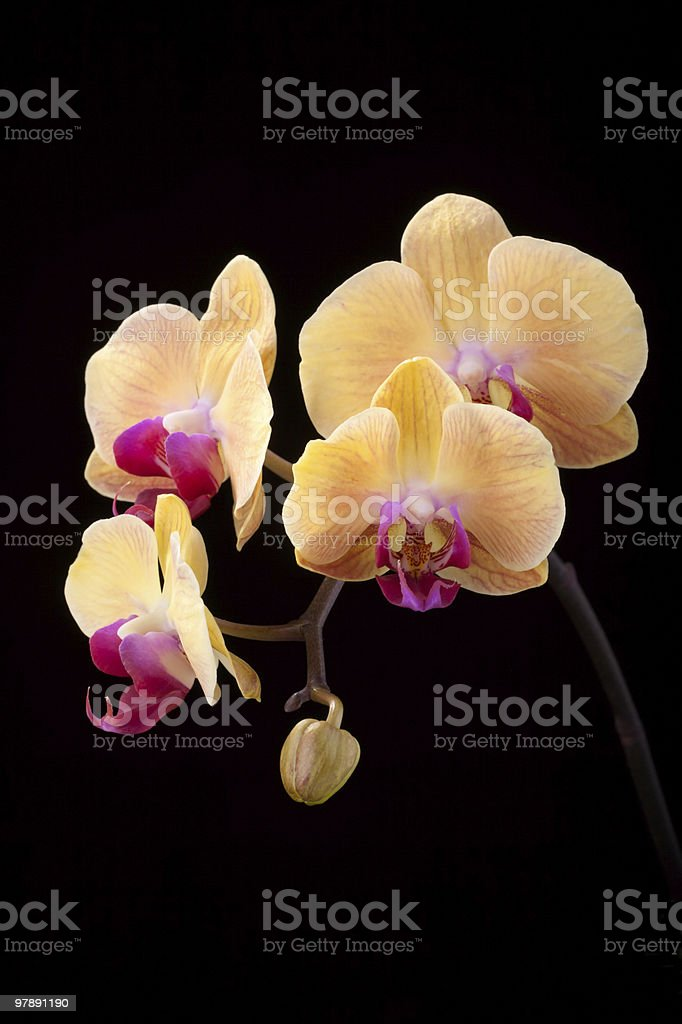 Isolated orchid flowers on black royalty-free stock photo