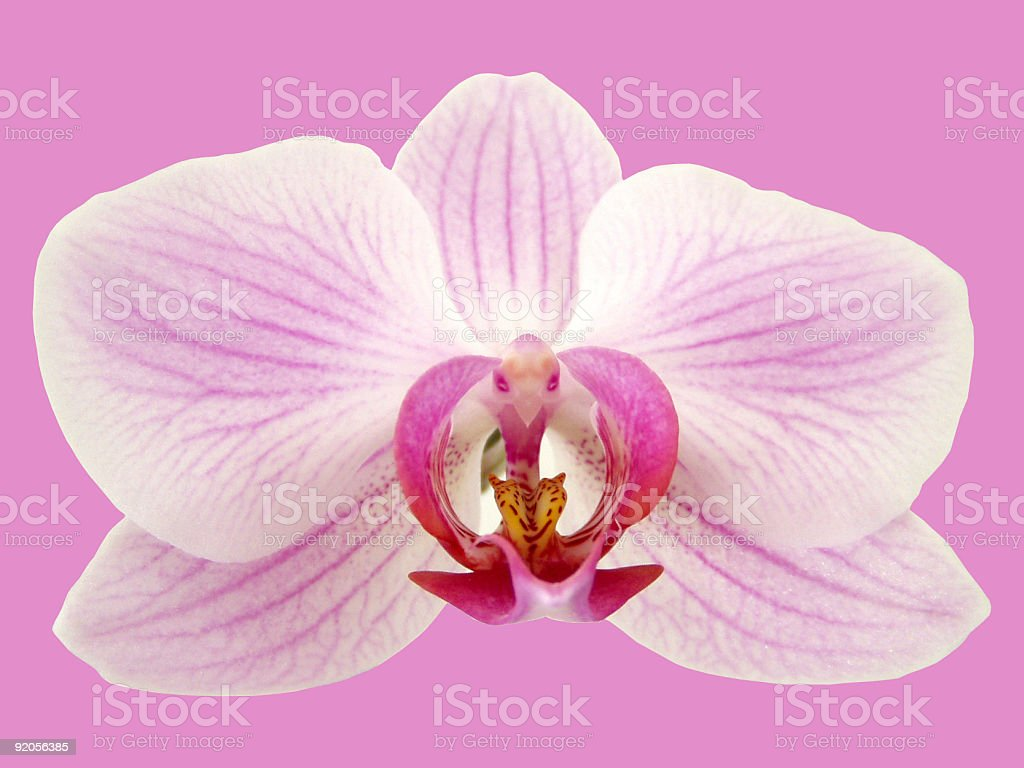 Isolated orchid on pink royalty-free stock photo