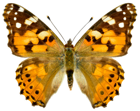 istock Isolated painted lady butterfly 178621854