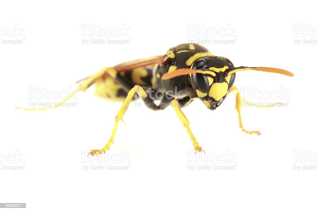 Isolated Paper Wasp  (XXXL) stock photo