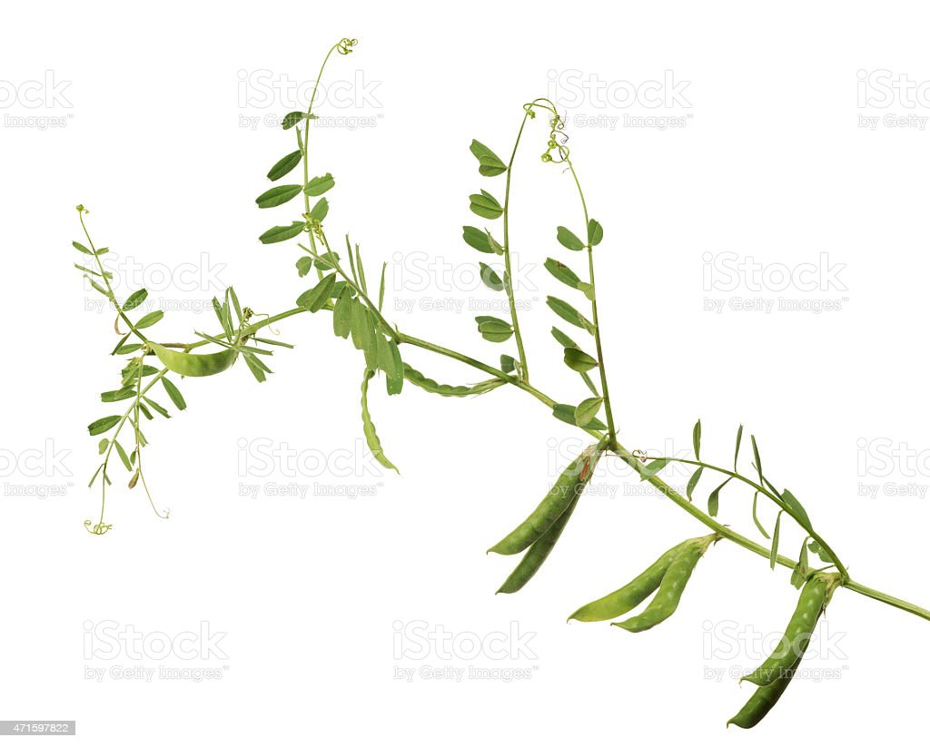 isolated pea pods and green stem stock photo