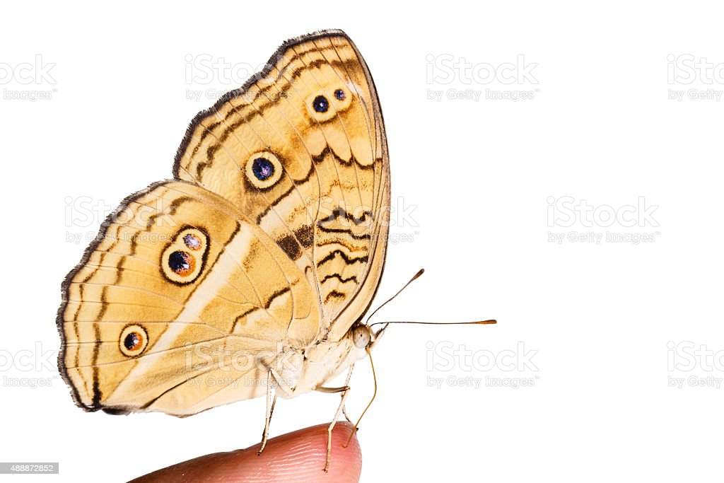 Isolated peacock pansy butterfly on human finger stock photo