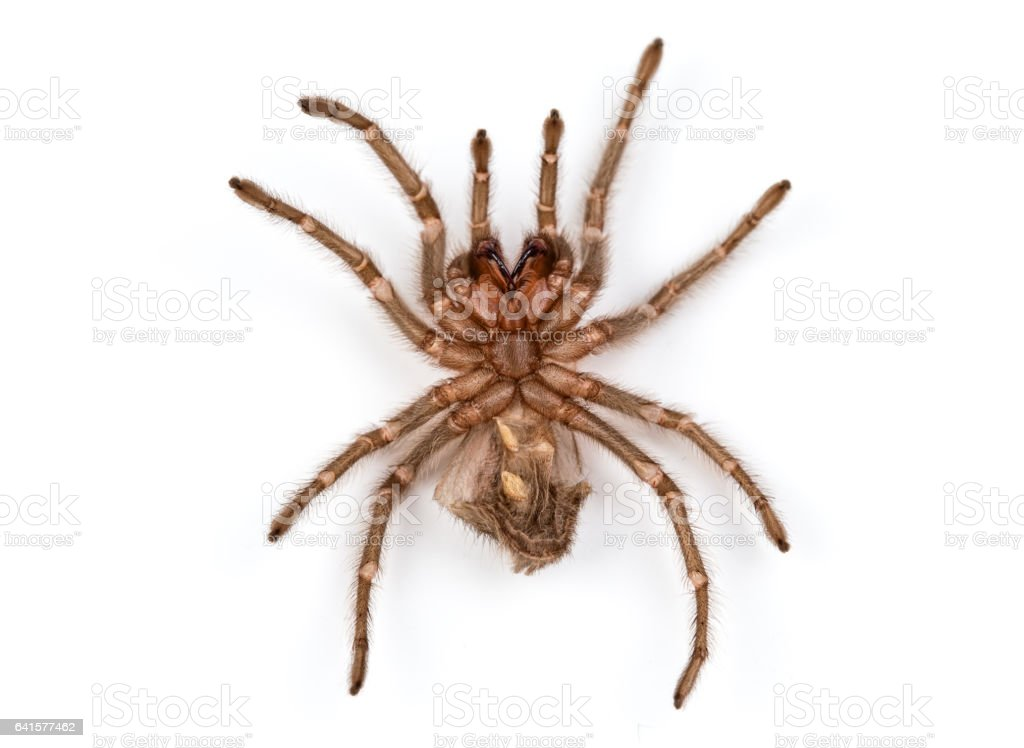 Isolated photo of brown spider's molt stock photo