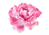 Isolated picture of a pink Peony flower