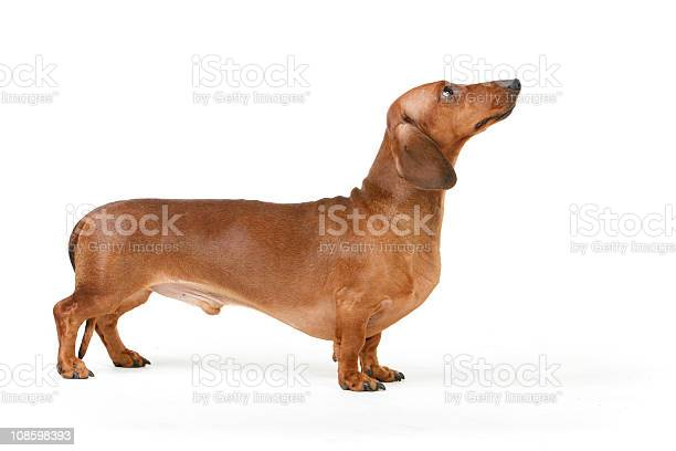 Isolated picture of a short haired dachshund picture id108598393?b=1&k=6&m=108598393&s=612x612&h=loeykz0ozgdupw0vkxegn5er5gayif k zzug qsbom=