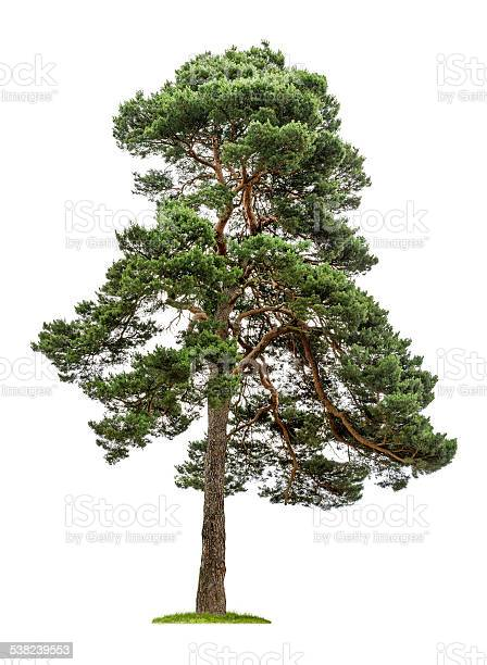 Photo of isolated pine tree on a white background