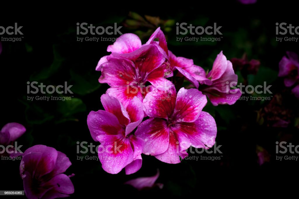 Isolated  pink and purple geraniums on dark background royalty-free stock photo