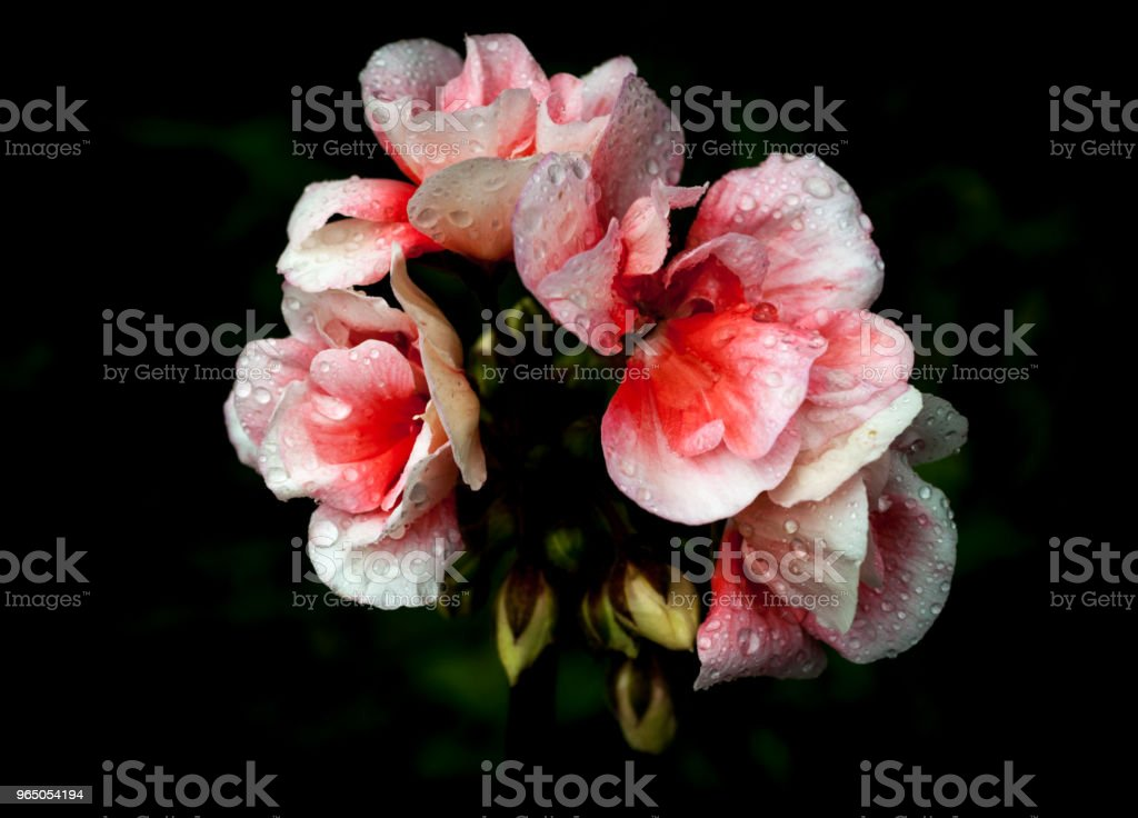 Isolated  pink and white geraniums on dark background royalty-free stock photo