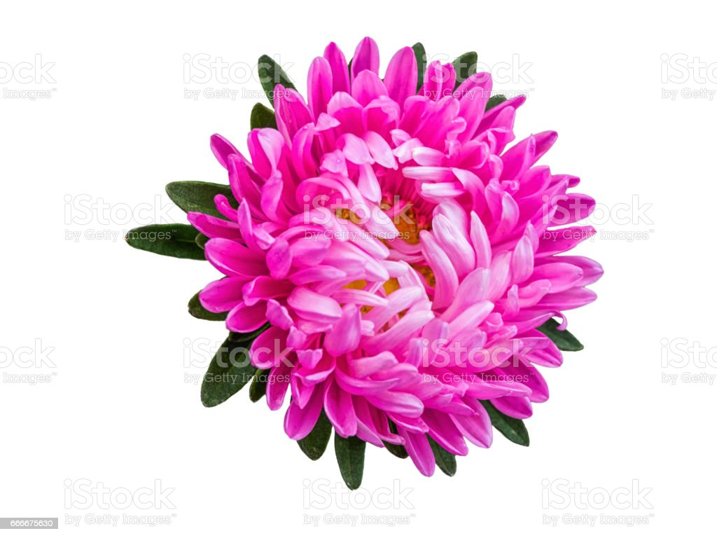 Isolated pink blossom gerbera or daisy. Colorful flower on white background stock photo