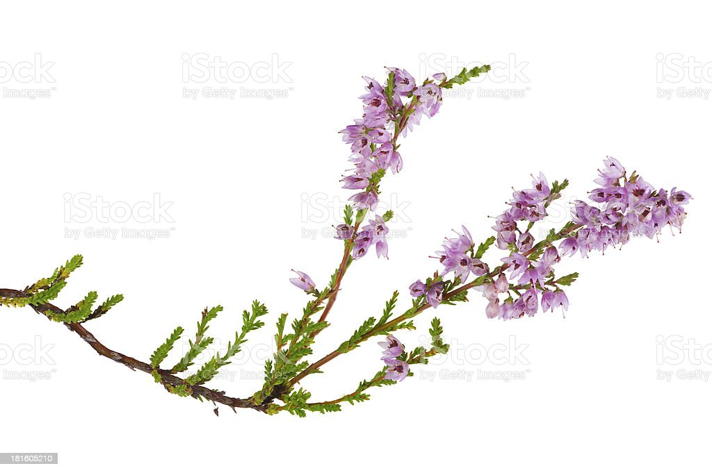 isolated pink blossoming heather branch royalty-free stock photo