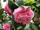 Isolated pink camellia flower