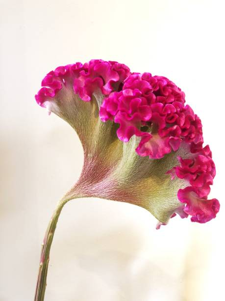 isolated pink Celosia Cristata flower