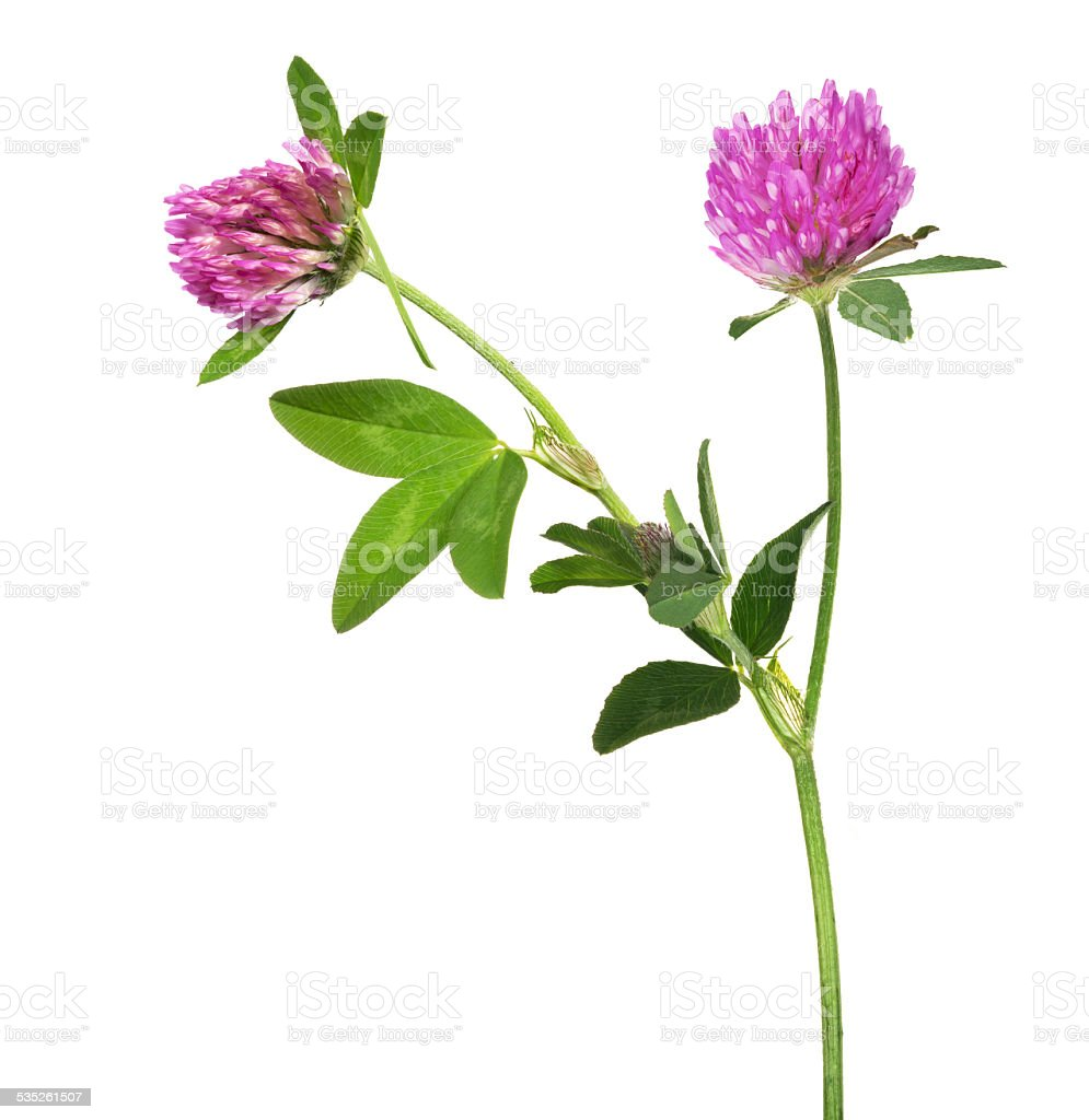 Isolated Pink Clover Flower With Two Blooms Stock Photo Istock