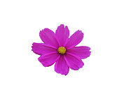 Isolated pink cosmos flower, cut outline on white background