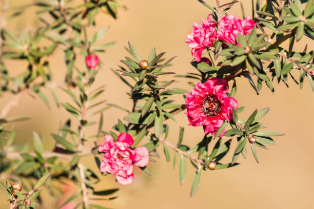 Royalty free tiny pink flowers on a leptospermum tea tree bush tiny pink flowers on a leptospermum tea tree bush pictures images and stock photos mightylinksfo