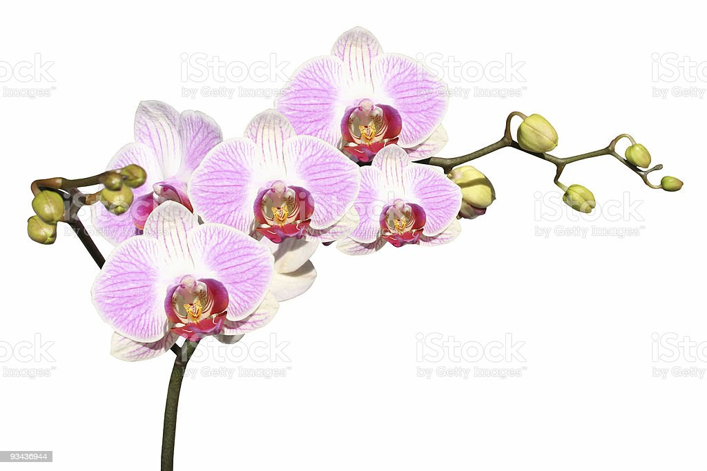Isolated pink orchids on white royalty-free stock photo