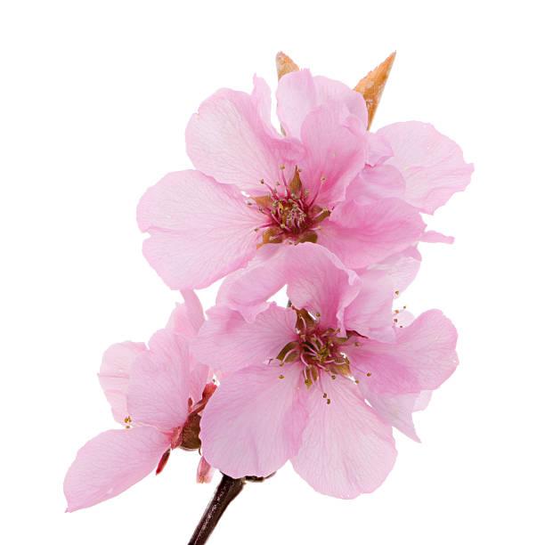 Isolated pink peach blossoms picture id521134490?b=1&k=6&m=521134490&s=612x612&w=0&h=rqxswwi 7xvuegoxyez8n7isgjt7yqztcpjdl5oiwlw=