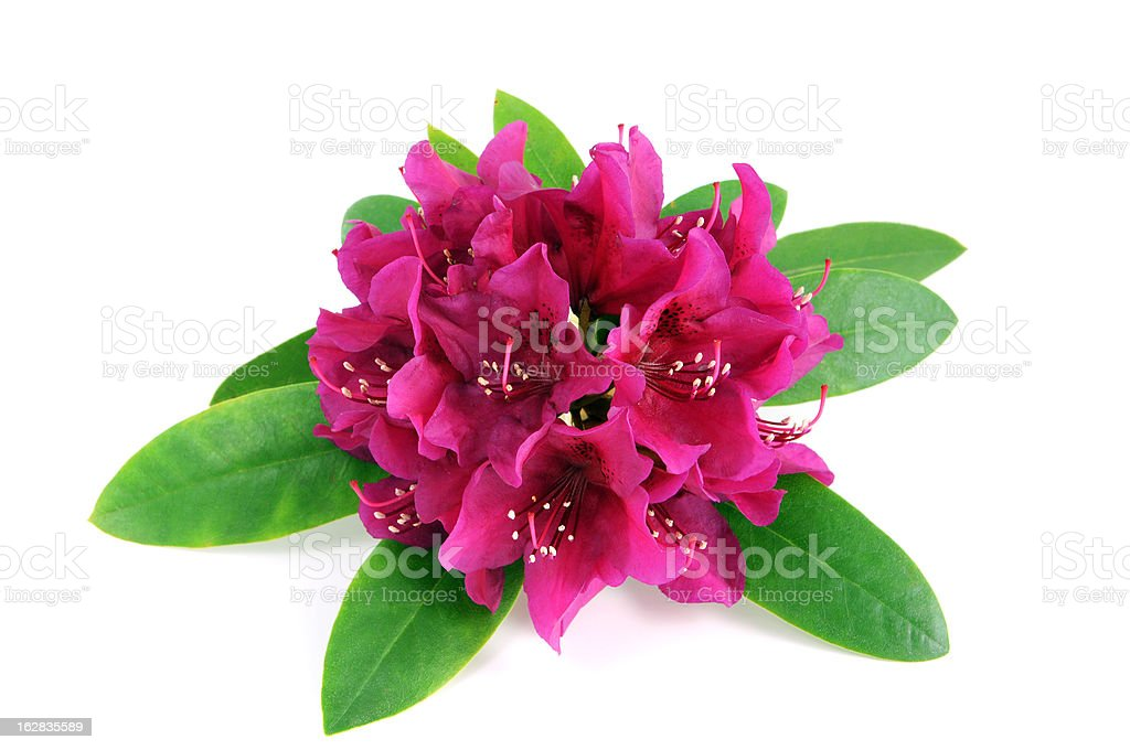isolated pink purple Rhododendron on white background stock photo