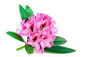 pink purple Rhododendron on white background