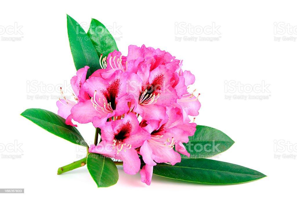 Isolierte pink purple Rhododendron auf weißem Hintergrund – Foto