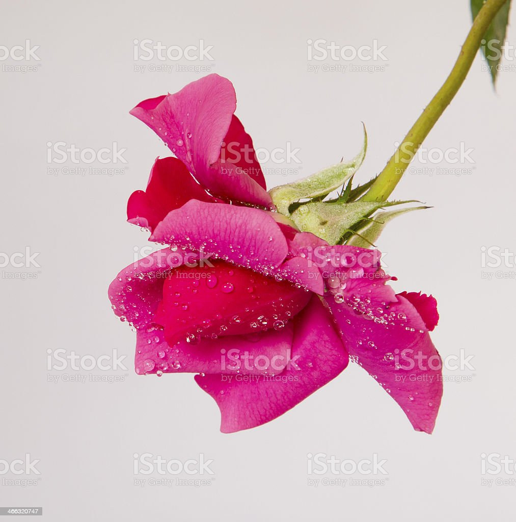 isolated Pink Rose against white stock photo