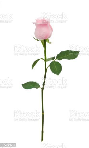Isolated pink rose xl picture id172756017?b=1&k=6&m=172756017&s=612x612&h=zq91sfq5rmjgqz2txvvkrnfpo4zajt4amiyu9qwbep8=